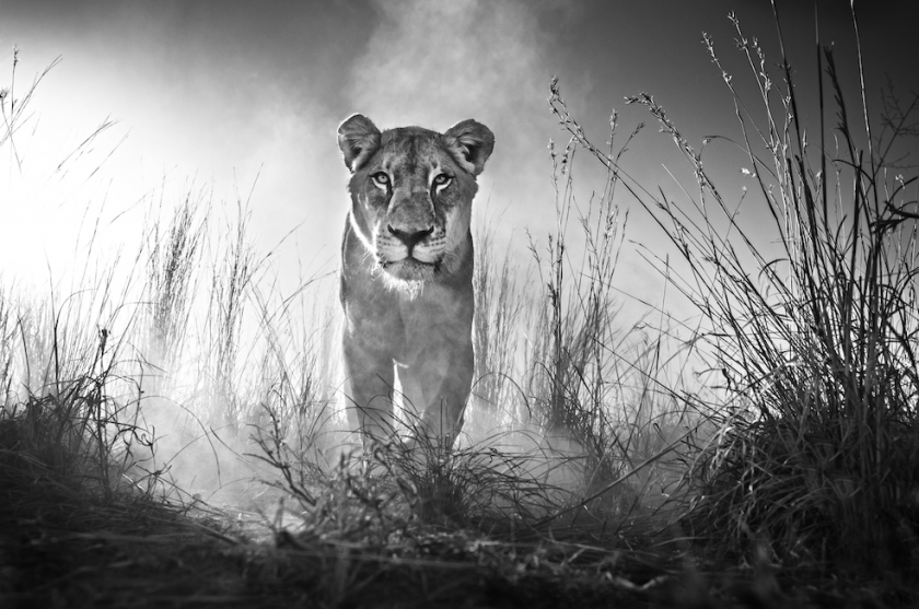 "David Yarrow - ""Gladiator"""