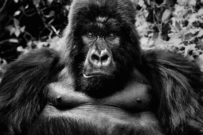 "David Yarrow - ""King Kong"""