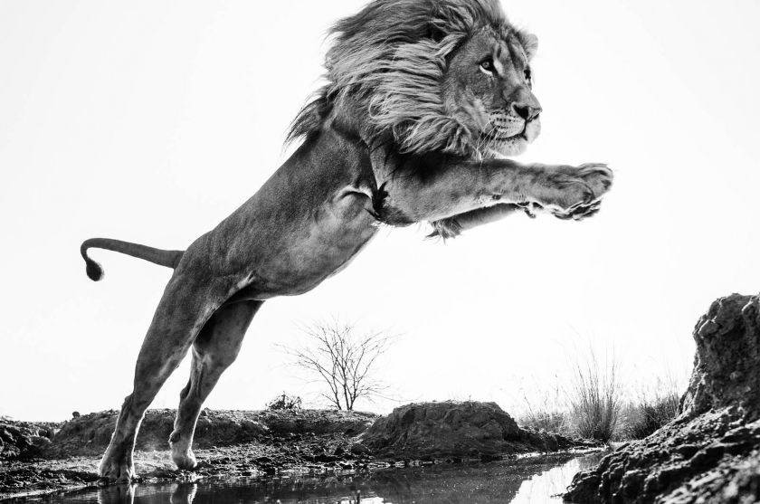 "David Yarrow - ""Lion King"""
