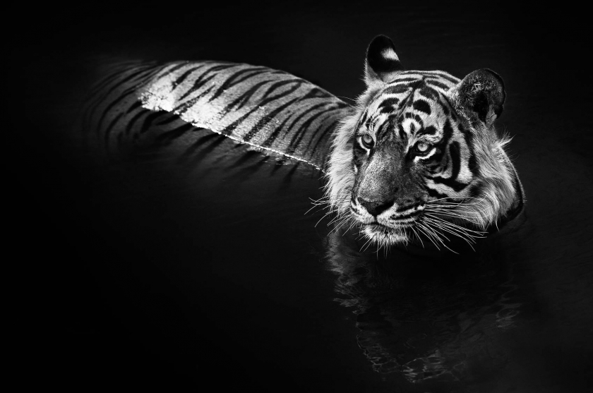 "David Yarrow - ""The Killer"""