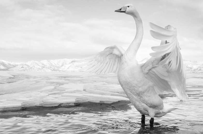 Swan-Lake - David Yarrow 2017 - Leonhard's Gallery