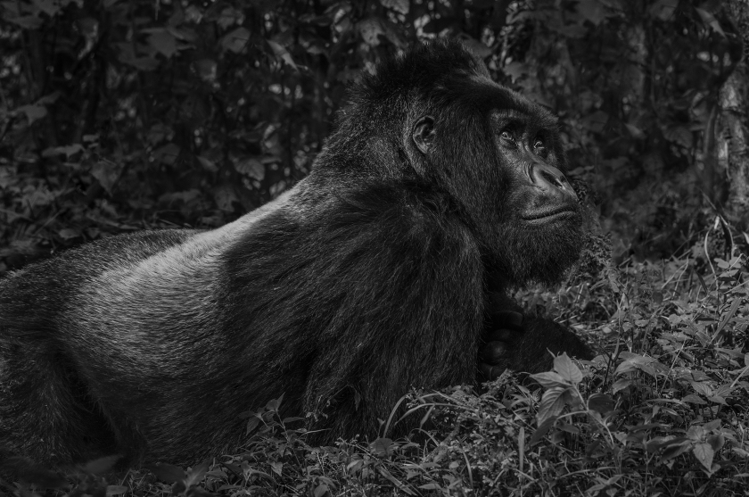 The-Silverback - David Yarrow 2017 - Leonhard's Gallery