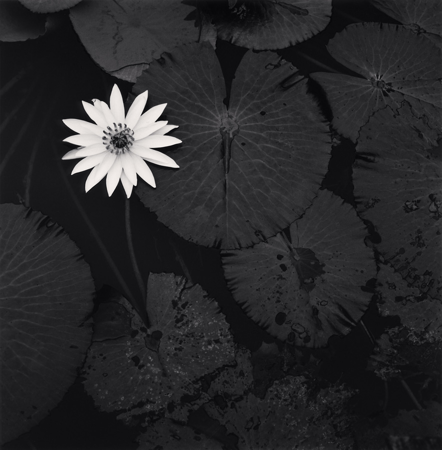 Mamtas Lotus Flower Ban Viengkeo Luang Prabang Leonhards Gallery