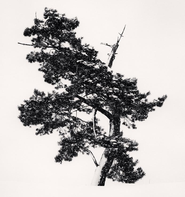 Stately-Tree-in-Snow-Storm,-Asahikawa,-Hokkaido,-Japan.-2011