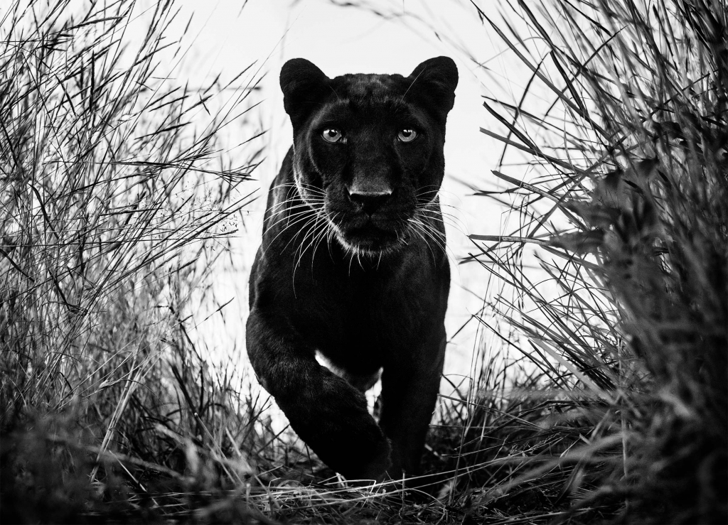Black Panther - David Yarrow - Leonhard's Gallery