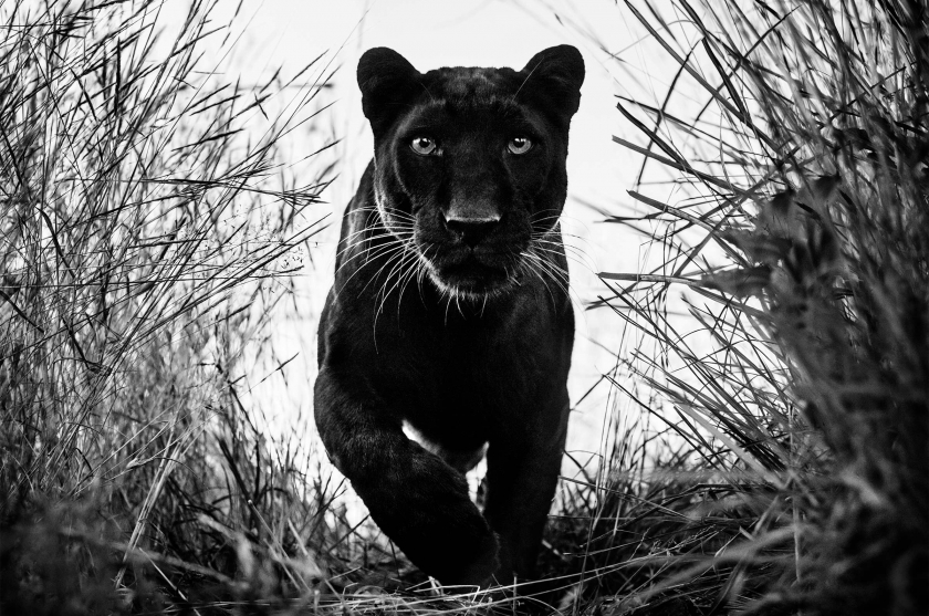 Black Panther - David Yarrow - Leonhard's Gallery