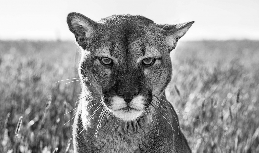 Smokey The Mountain Lion - David Yarrow - Leonhard's Gallery