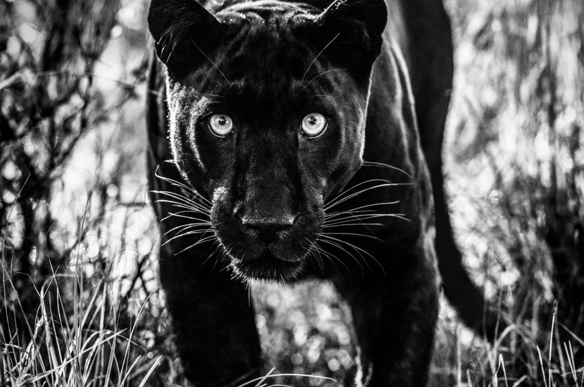 Wakanda - David Yarrow - Leonhard's Gallery
