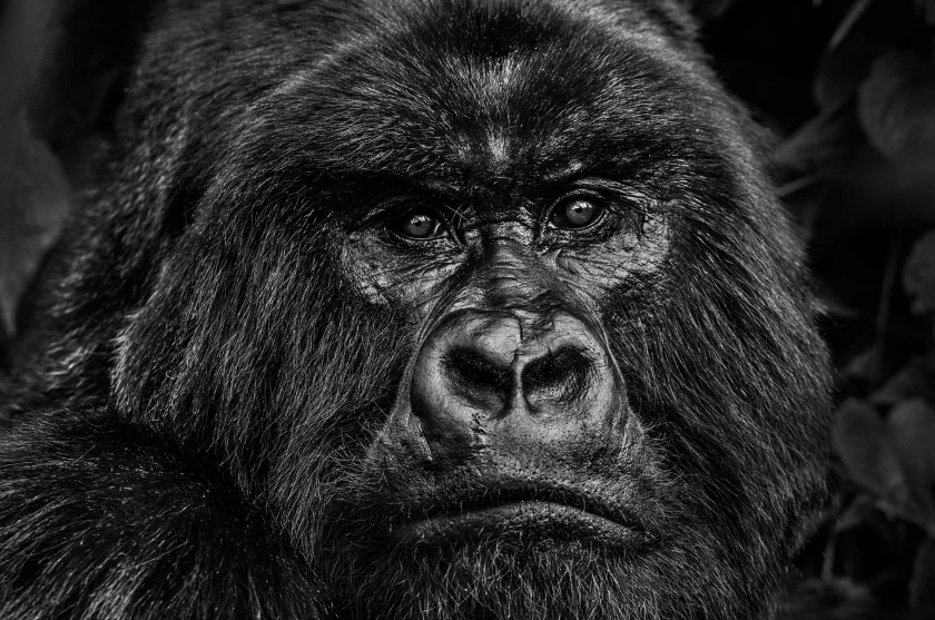 Kong - David Yarrow - Leonhard's Gallery