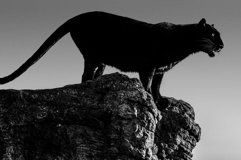 Black-Cat - David Yarrow - Leonhard's Gallery