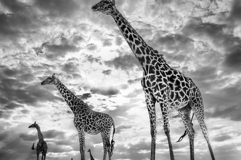 Keeping-up-with-the-Crouches - David Yarrow - Leonhard's Gallery