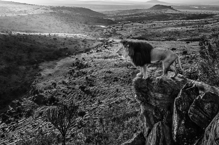 King-of-Kings - David Yarrow - Leonhard's Gallery