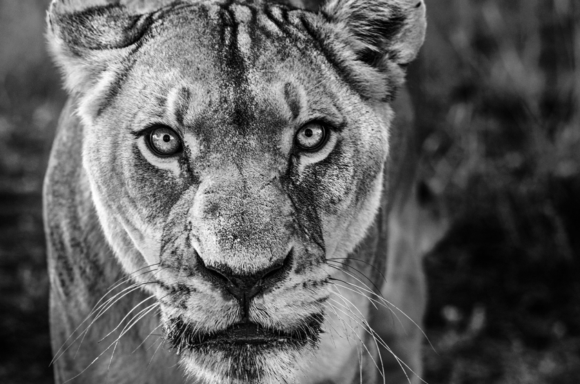 Nala - David Yarrow - Leonhard's Gallery