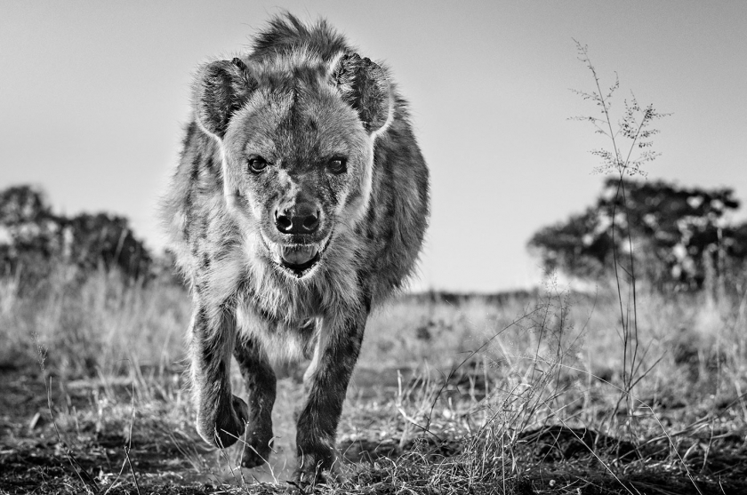 No-Laughing-Matter - David Yarrow - Leonhard's Gallery
