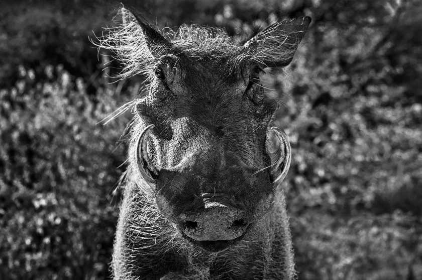 Pumbaa - David Yarrow - Leonhard's Gallery