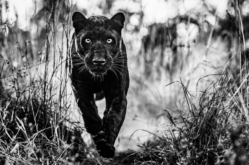 The-Black-Panther-Returns - David Yarrow - Leonhard's Gallery