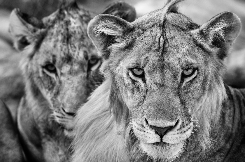 The-Boys-Are-Back-In-Town - David Yarrow - Leonhard's Gallery