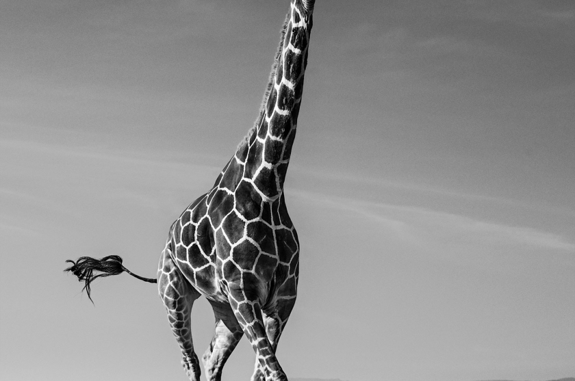 Tiny Dancer - David Yarrow - Leonhard's Gallery
