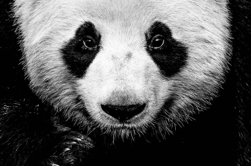Kung Fu Panda - David Yarrow - Leonhard's Gallery