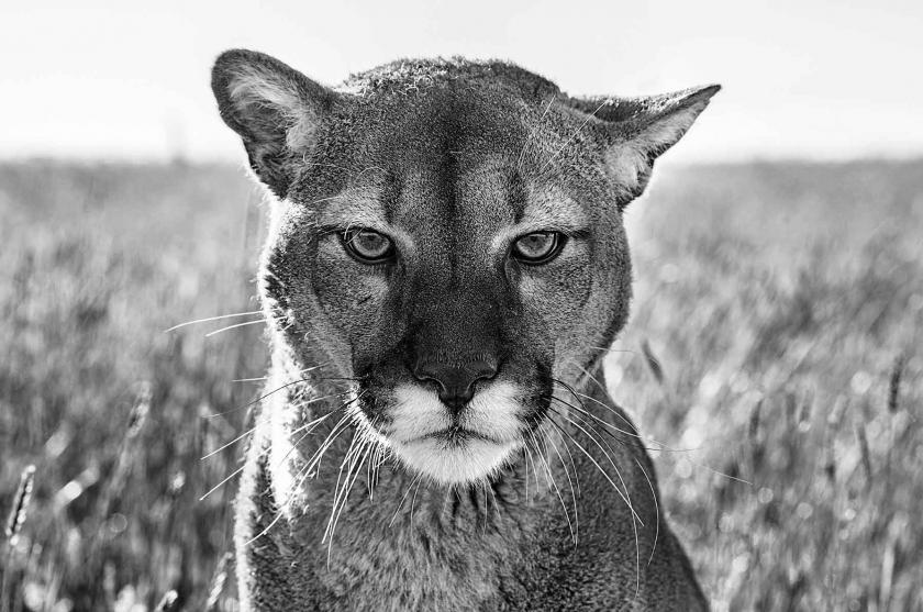 Smokey The Mountain Lion - David Yarrow - Leonhard's Gallery